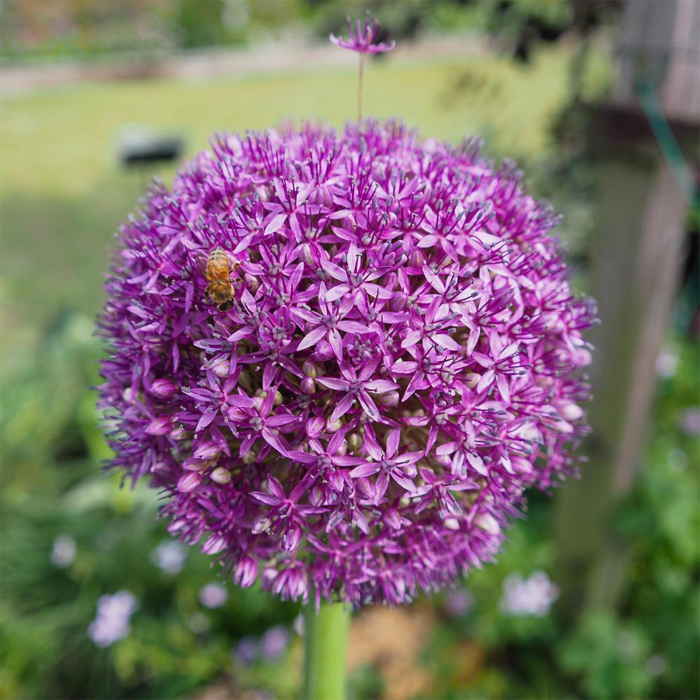 ミツバチとアリウム