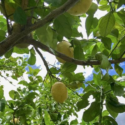 大きなレモン