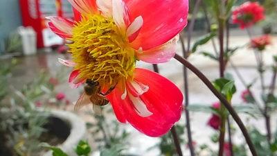ダリアと蜜蜂0704