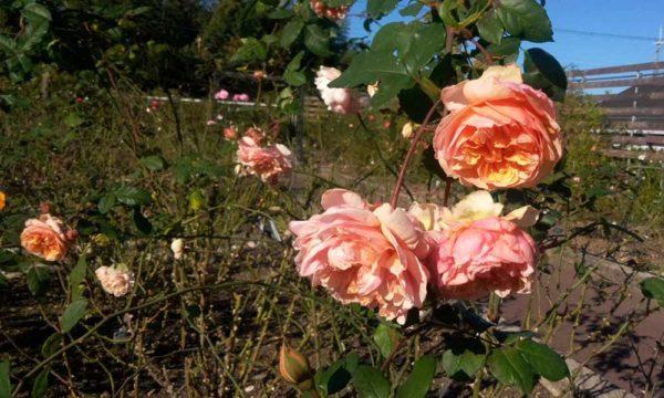 バラ園のバラ1