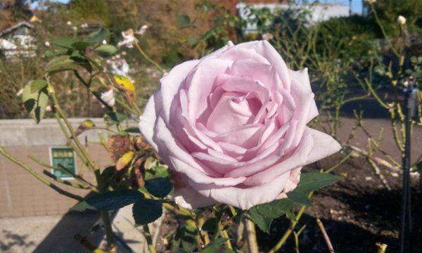 バラ園のバラ2