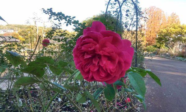 バラ園のバラ3