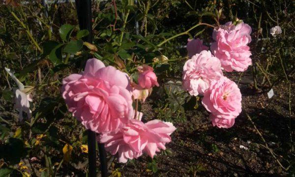 バラ園のバラ4
