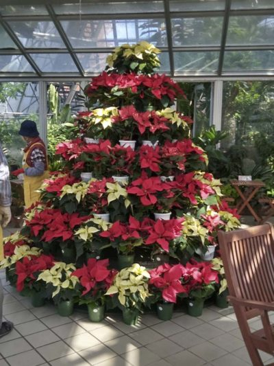 12/1ポインセチアでクリスマスツリー