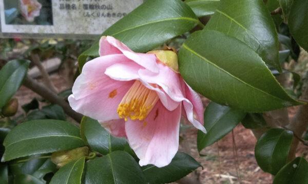 3/2寒咲き侘助