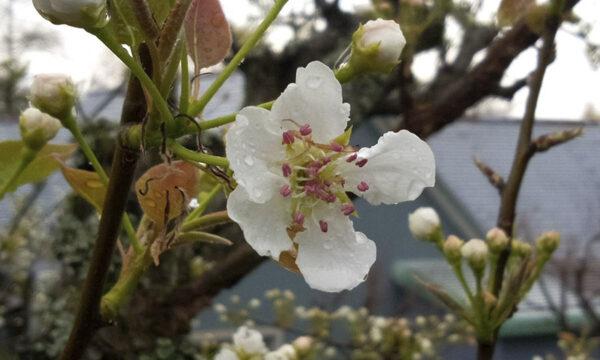 3/30ナシの花