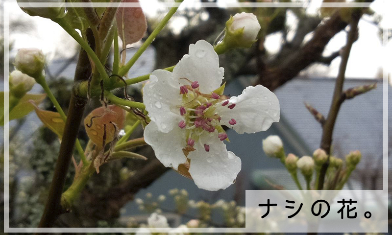 3/30ナシの花2
