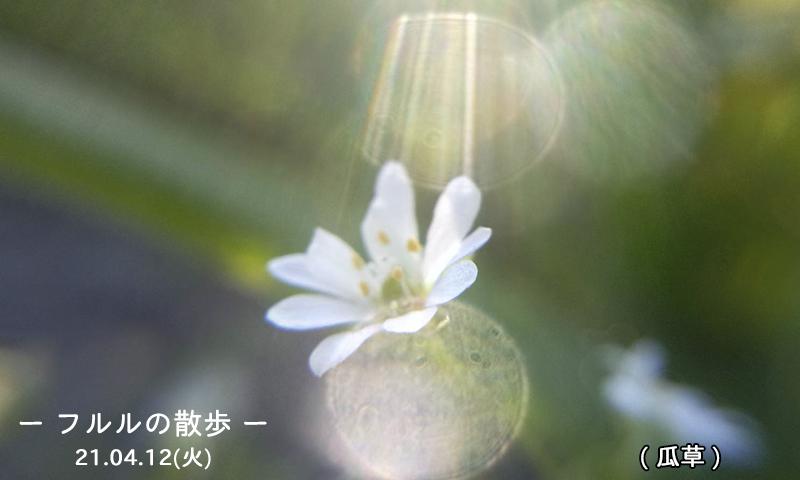 4/13瓜草