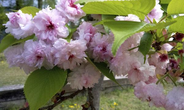 4/20兼六園菊桜